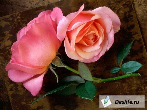 Розы - Цветы и Сады