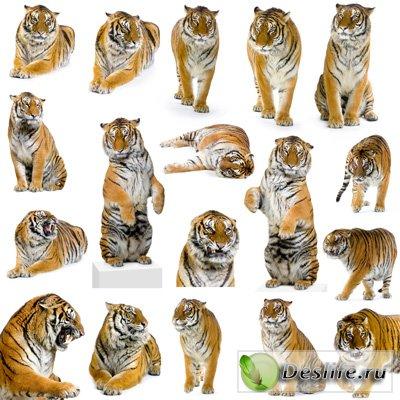 Растровый клипарт - Тигры