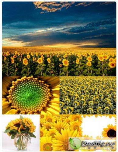 Цветы подсолнуха - Клипарт