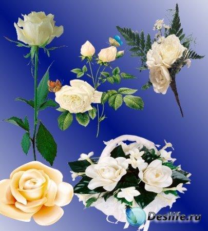 Растровый клипарт - Белые розы