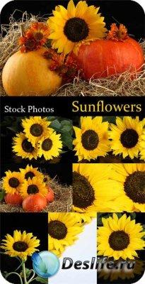 Фотоклипарт - Sunflowers / Подсолнухи