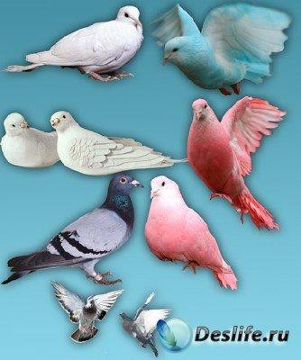 PNG клипарт для фотошопа - Голуби