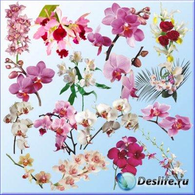Клипарт для фотошопа - Орхидеи