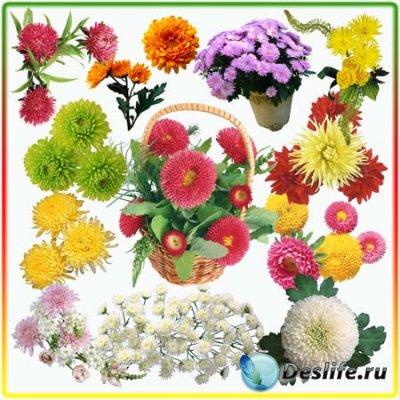 Клипарт для фотошопа - Хризантемы