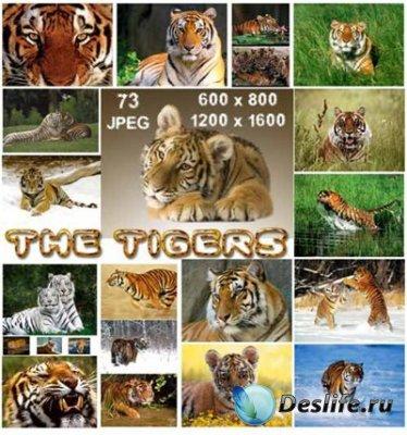 Обои для рабочего стола - Тигры (Tigers)