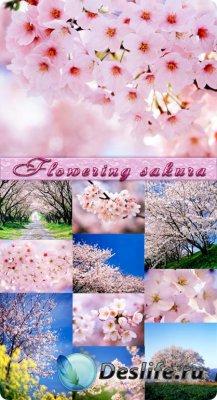 Фоны для фотошопа - Цветущая сакура