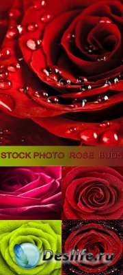 Stock Photo - Rose Buds / Бутоны роз