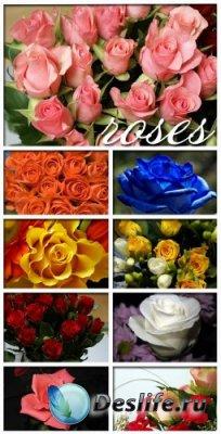 Сток-фото - Розы