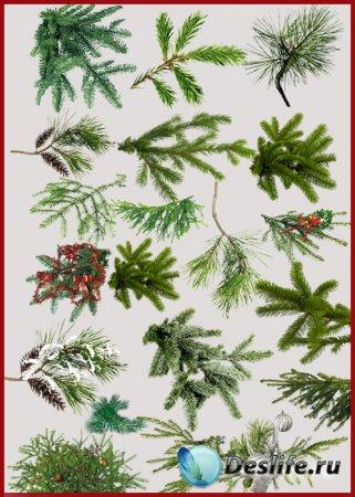 PNG клипарт - Еловые и сосновые веточки, заснеженные ветки
