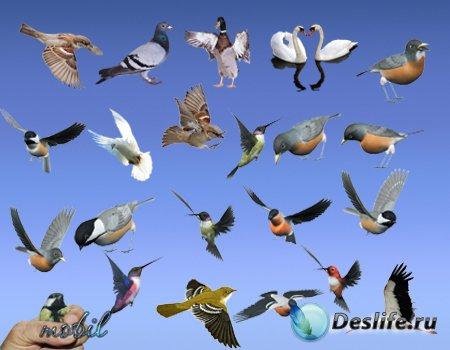 Клипарт PNG - Птички