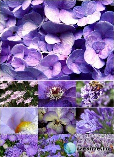 Клипарт - Фиолетовые цветы