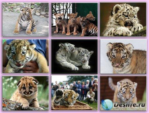 Обои - Тигрята