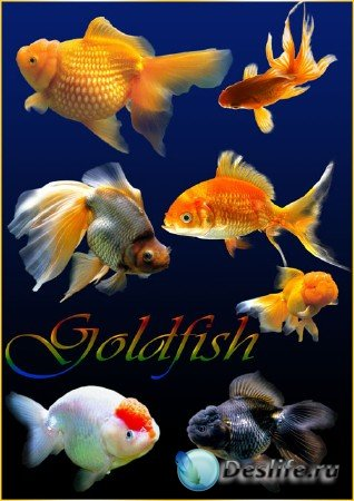 Клипарт – Золотые рыбки