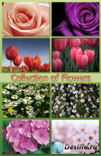 Клипарт - Розы, тюльпаны, ирисы, ромашки