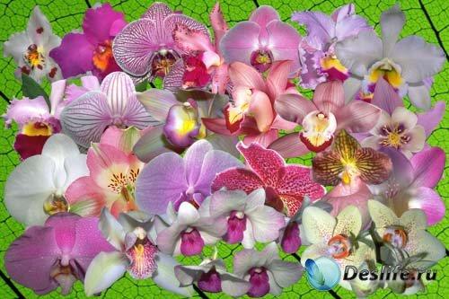 Клипарт Орхидеи цвета мечты