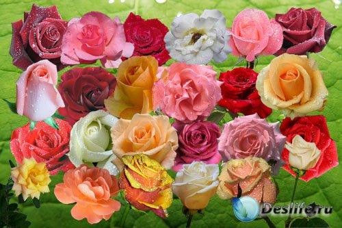 Клипарт Слезы королевы цветов