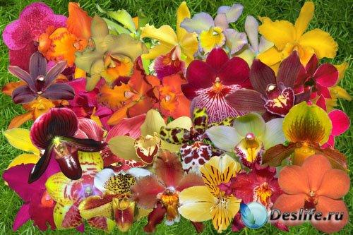 Клипарт Орхидеи цвета огня