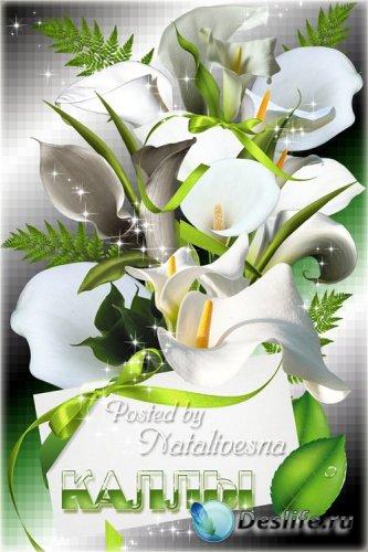 Клипарт – Белая Калла - красивый цветок...