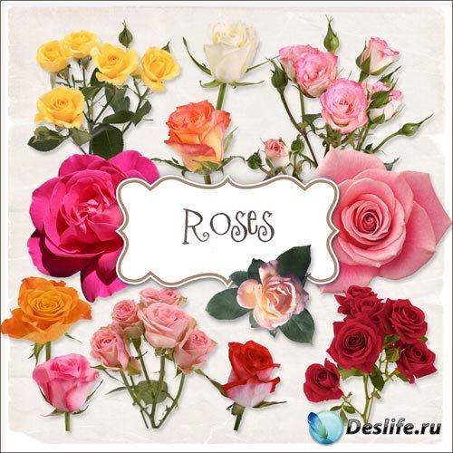 Клипарт - Разноцветные розы