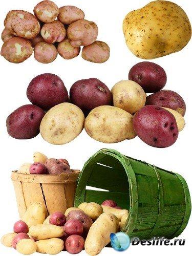 Фотосток: овощи - картофель