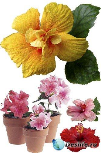 Цветы Гибискус - подборка стоковых изображений