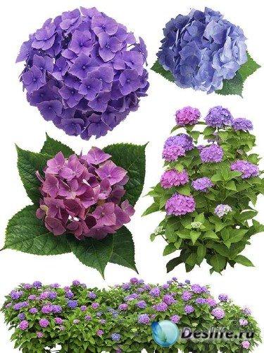 Цветы Гортензия - подборка стоковых изображений