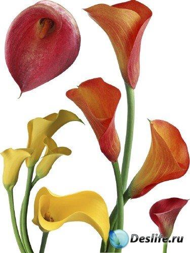 Цветы Каллы - подборка стоковых изображений