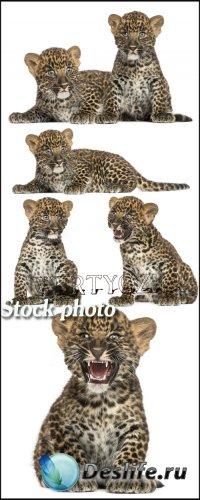 Маленькие леопарды / Little leopards, animals