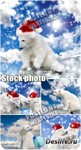 Белый медведь в шапке санты / Polar bear in santa hat - stock photos