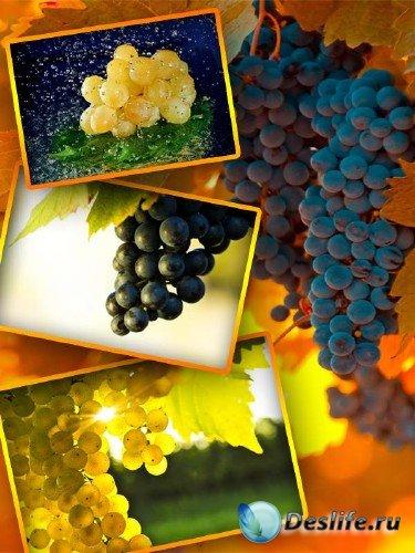 Фотосток: Виноградная гроздь