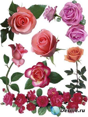 Розы разноцветные (мега подборка цветов)
