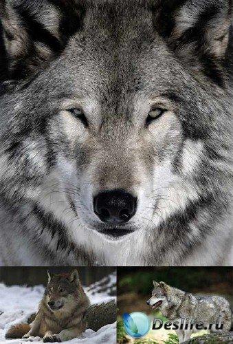 Хищные животные: Волки