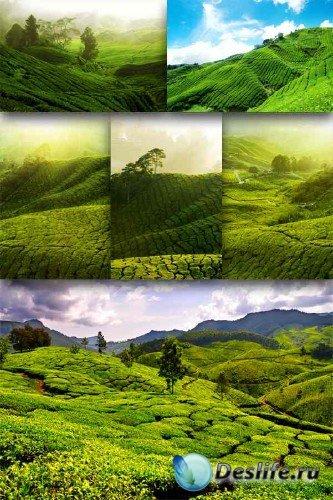 Чайная плантация (подборка изображений)