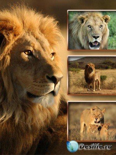 Хищники: Львы и львицы (подборка изображений)