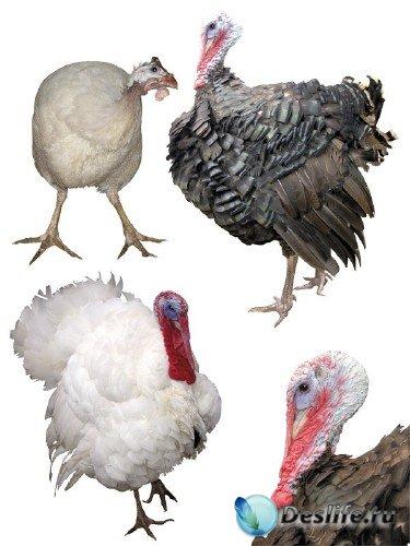 Домашняя птица: Индюк (подборка изображений)