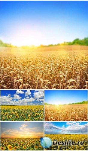 Клипарт - поля с подсолнухами и пшеницей