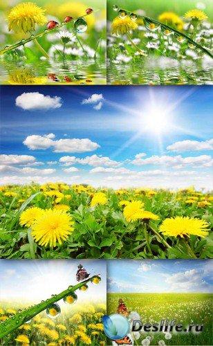 Цветы: Одуванчики (подборка изображений)
