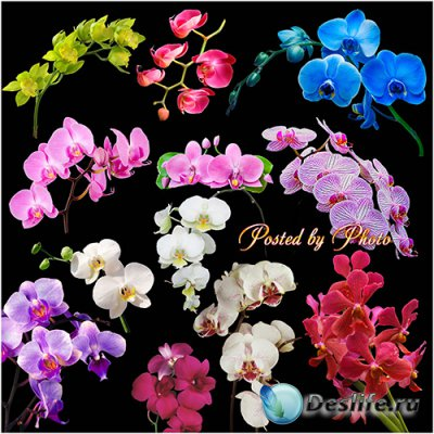 Клипарт на прозрачном фоне - Красивые орхидеи