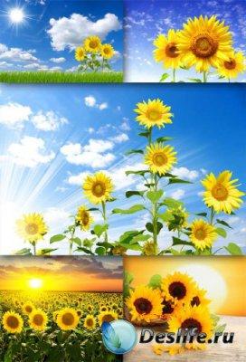 Золотистый подсолнух (подборка изображений)