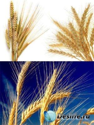 Колосья и зерна пшеницы (подборка изображений)