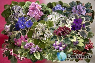 Клипарт Цветущие фиалки узамбарские розетки