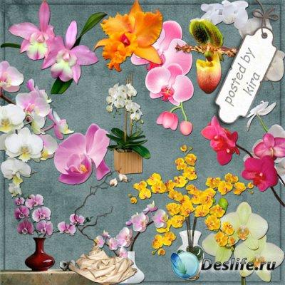 Клипарт без фона - Великолепие орхидей