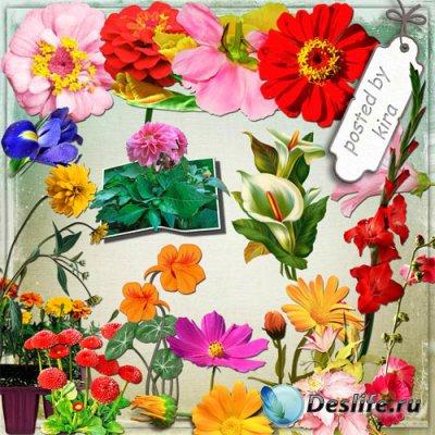 Клипарт на прозрачном фоне - Ирисы, гладиолусы, пионы и другие садовые цвет ...