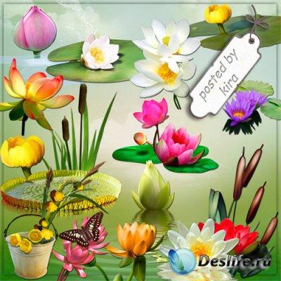 Клипарт на прозрачном фоне - Кувшинки, цветы лотоса и камыши