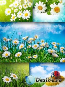 Полевые цветы: Ромашки (большая подборка изображений)