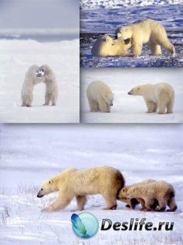 Хищники: Белый медведь (подборка изображений)