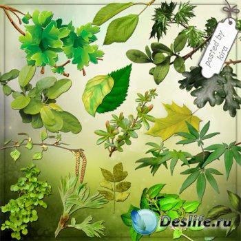Клипарт на прозрачном фоне - Ветки и листья летних деревьев