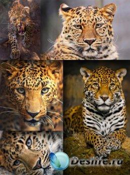 Хищники: Дикие кошки (подборка клипарта)