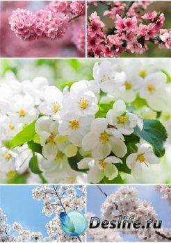Цветущая вишня и сакура (подборка изображений)