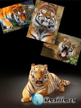 Хищные кошки: Тигр (подборка изображений)